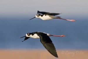 Black-necked Stilt-Larry-Ditto