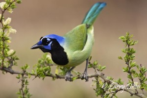 Green Jay (Cyanocorax yncas) on blooming black brush, March, south Texas