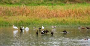 Wetlands-Ibises